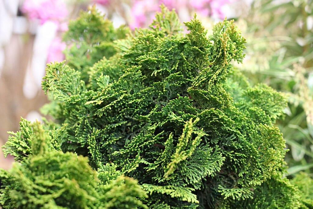 Feuer-Scheinzypresse, Hinoki-Scheinzypresse (Chamaecyparis obtusa), winterhart