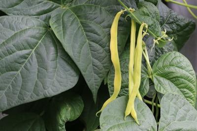 Bohne Gemüsesorten