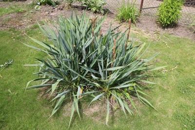 Kerzen-Palmlilie Yucca