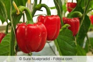 Paprika anbauen