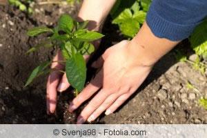 Paprikapflanzen setzen