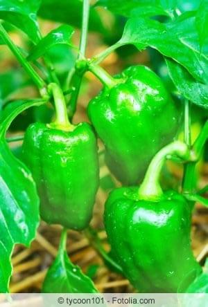 grüne Paprikapflanzen