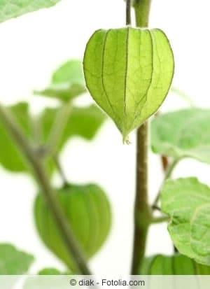 Tomatillo-Pflanze