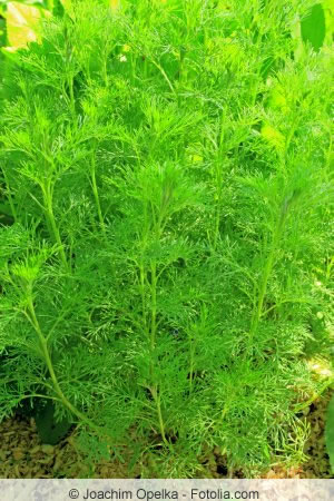 Artemisia abrotanum Pflanze