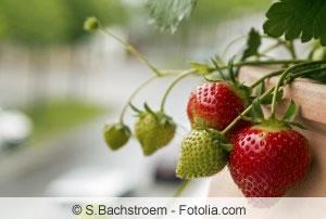Erdbeeren auf Balkon