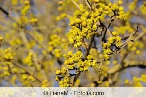 Blüten von Cornus mas