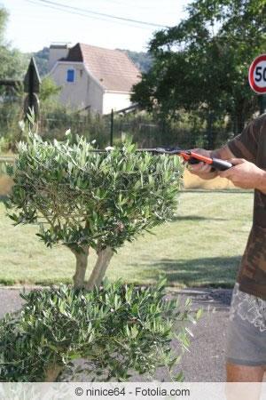 Lieblings Olivenbaum richtig schneiden - Anleitung und Zeitpunkt @NN_51