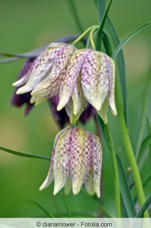 Blüte der Schachblume