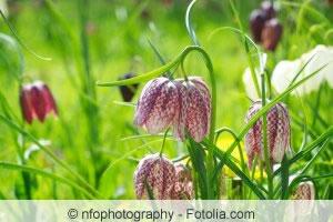 Fritillaria meleagris Pflanzen