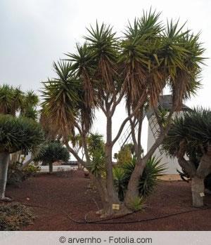 Yucca rostrata - Blaublättrige Yucca