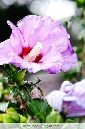 violette Hibiskusblüte