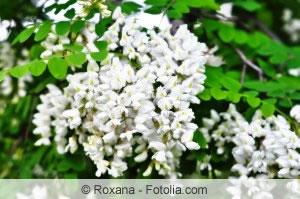 Blüten der Robinia