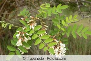 Blätter von Robinia pseudoacacia