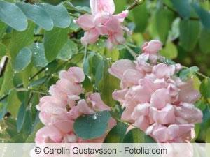 rosa Robinie