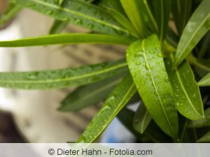 Blätter des Oleanders