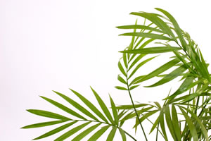 Goldfruchtpalme pflegeleichte Büropflanzen