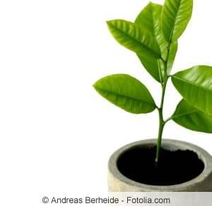junger Zitronenbaum