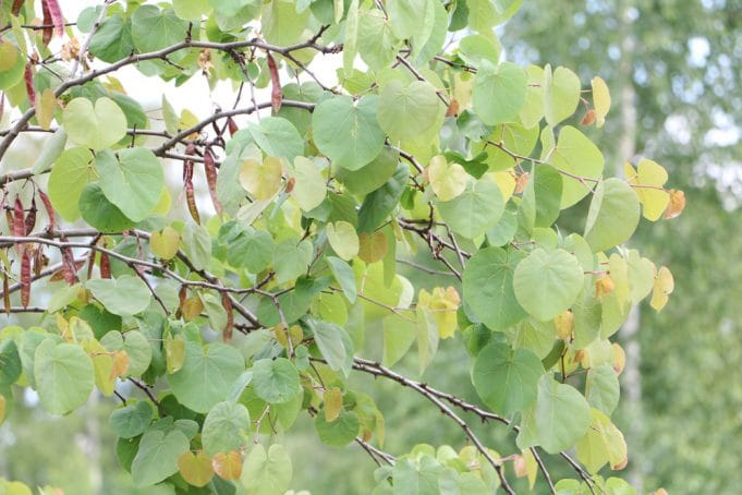 Judasbaum tropische Pflanzen