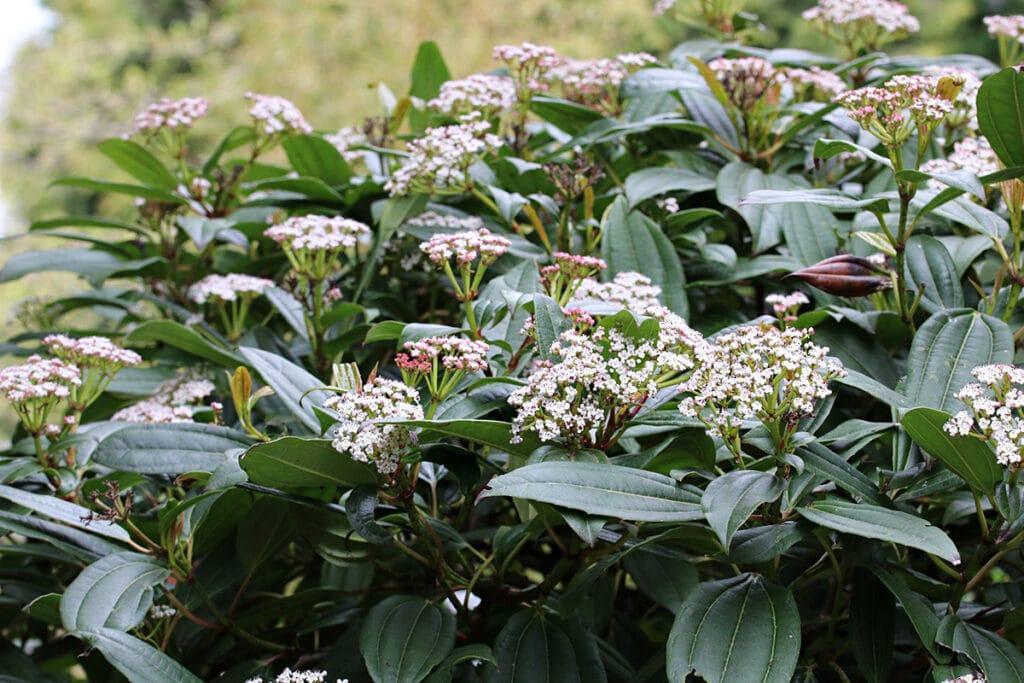 Kissen-Schneeball, Viburnum davidii, winterhart