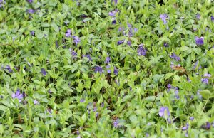 kleines Immergrün, winterharte Pflanzen