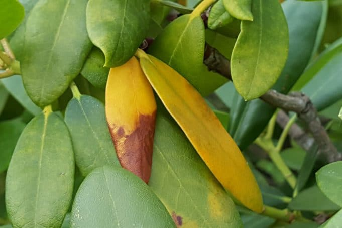 Rhododendron gelbe Blätter
