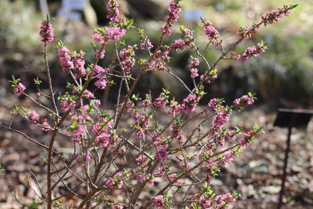 Seidelbast einheimische Büsche
