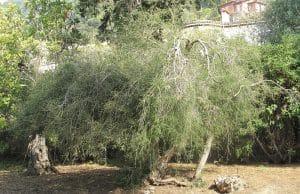 Australischer Teebaum