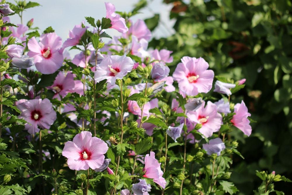 hibiskus arten