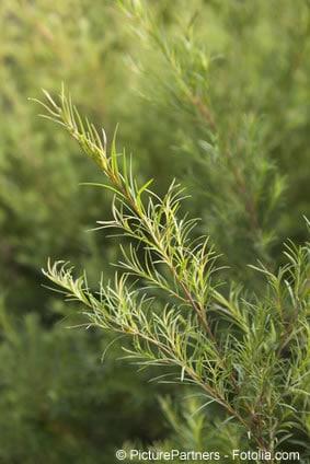 australischer teebaum Zweig