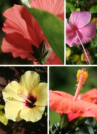 hibiskus collage