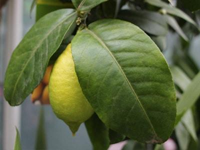 Zitronenbaum aus kern
