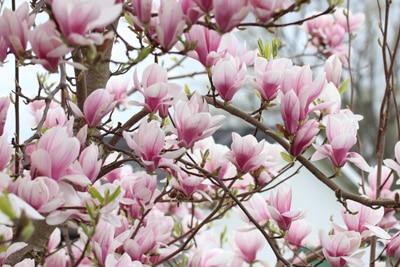Magnolie Magnolia