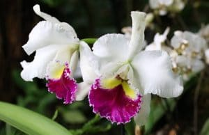 Orchidaceae cambria, Orchidee