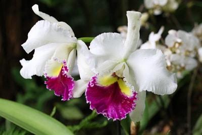 Orchidaceae cambria