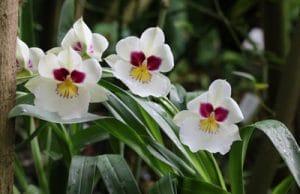 Orchidaceae Miltonia Orchidee