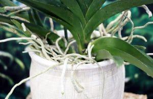 Orchidaceae - Orchideen - Vanda