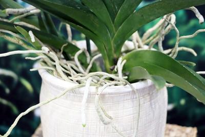 Orchidaceae - Orchideen Vanda