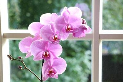 Orchidaceae phalaenopsis, Schmetterlingsorchidee