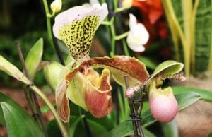 Orchidee Frauenschuh Cypripedium phragmipedium