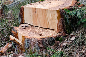 Fällschnitt beim Baum