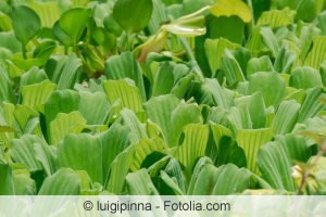 Grüne Wasserrose