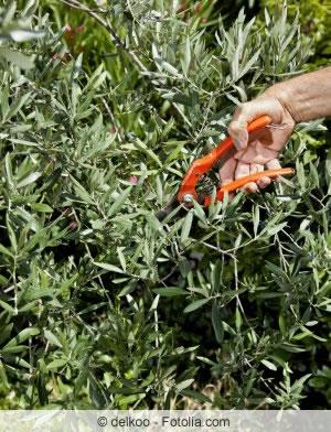 Olivenbäumchen schneiden