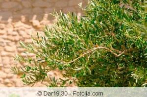 Olivenbaum Blätter