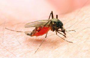Mücke sticht