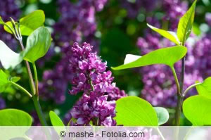 violetter Flieder