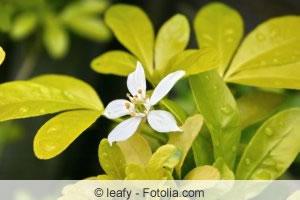 Choisya Blüte