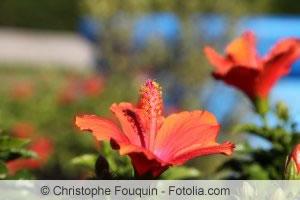 Hibiscus rosa-sinensis Blüten