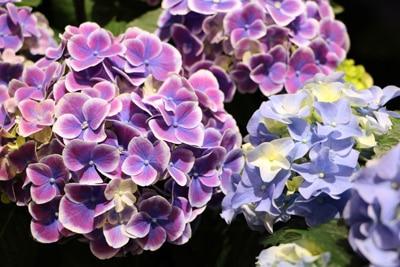 Hortensien - Hydrangea
