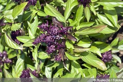 Thai-Basilikum Basilikum-Arten