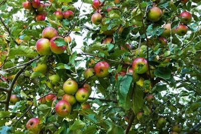 Apfel Malus